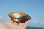 coquillage Normand.jpg