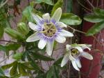fleur-passifor.JPG