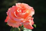 roses-de-mon-jardin.JPG
